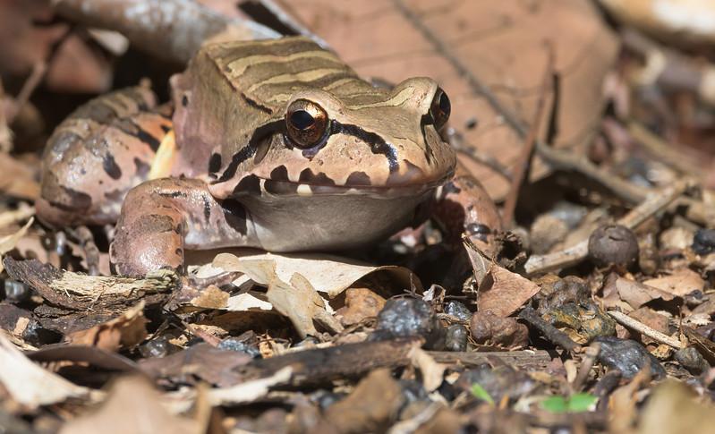 Giant Ditch Frog (Leptodactylus fallax)
