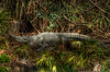Snoozin Gator<br /> ~HDR gator~