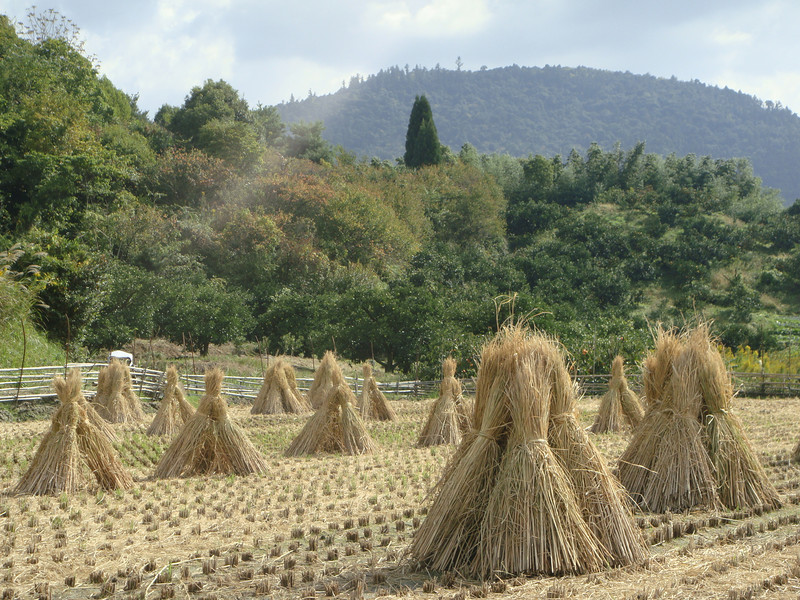 Rice straw stooks beside the Yamanobe no michi path