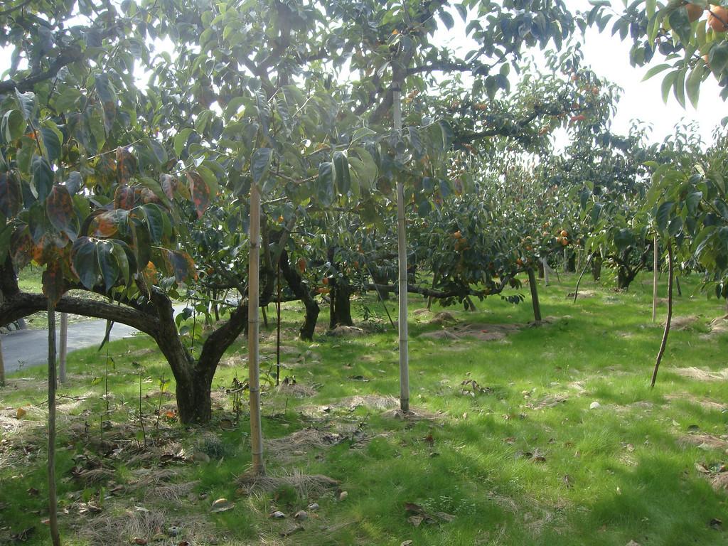 Persimmon trees beside the Yamanobe no michi