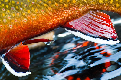 Eastern Brook Trout - Photo by Jim Klug. Klug Photos. Fly fishing photos, fly fish photos, stock fly fishing photos, fly fishing travel photos.
