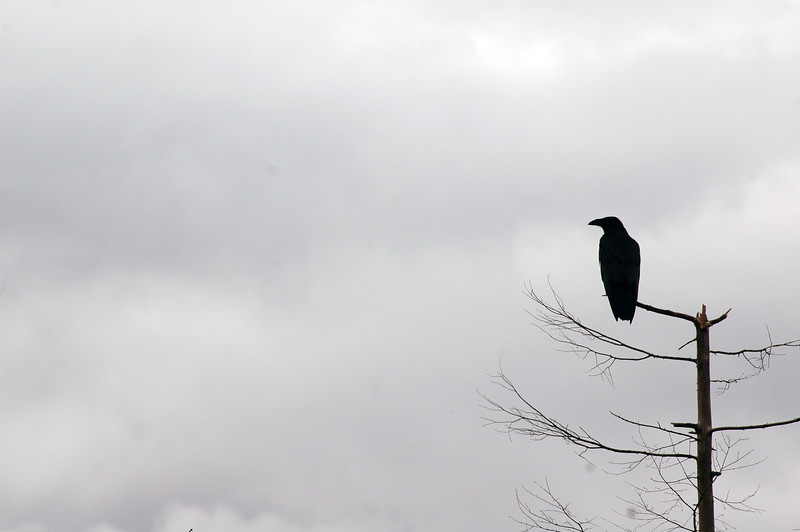Raven silhouette against a cloudy sky - Nature Stock Photography by Professional Nature Photographer Christina Craft