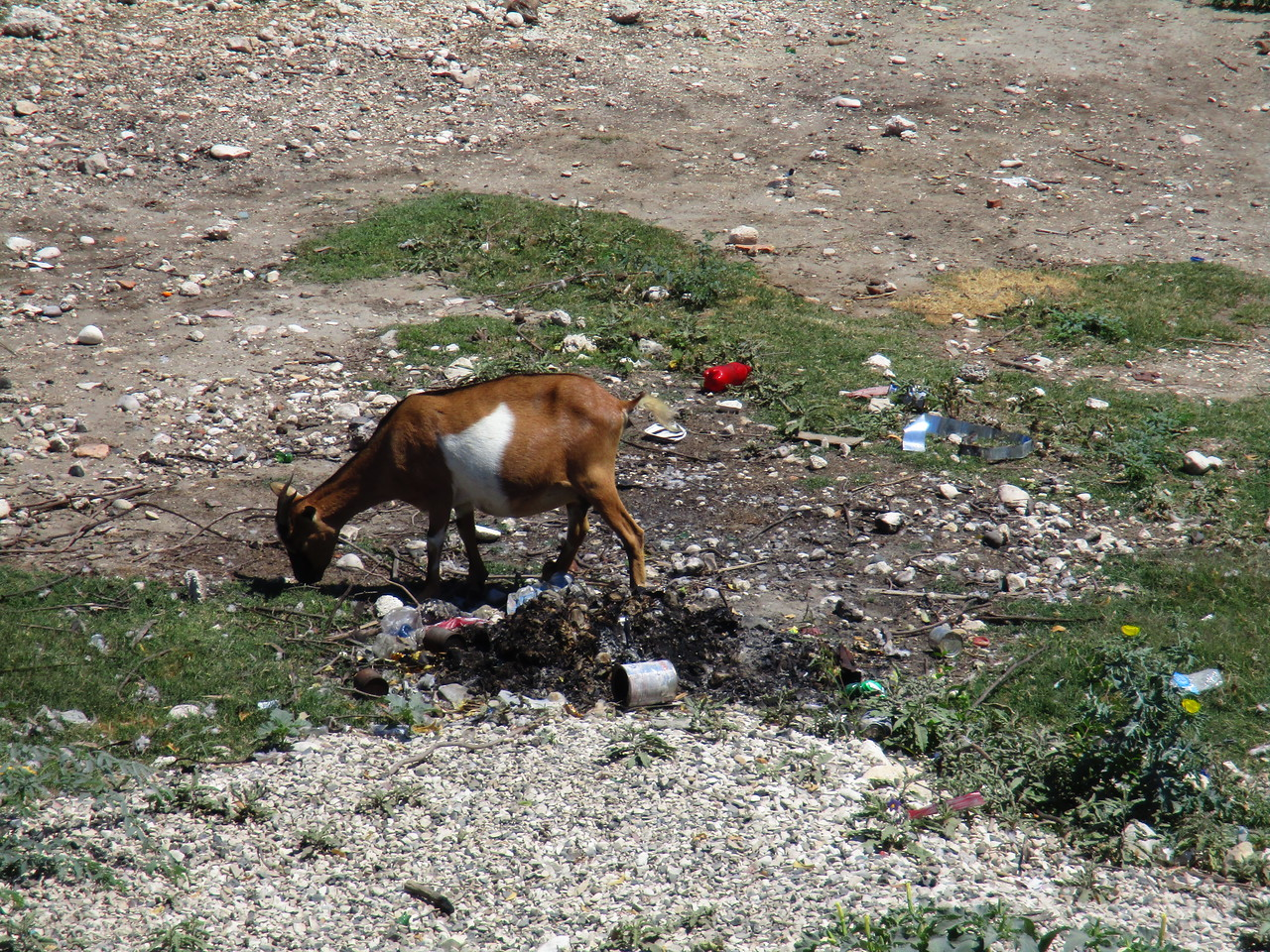 Goat sifting through the trash