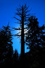 Silhouette of a scraggy pine.
