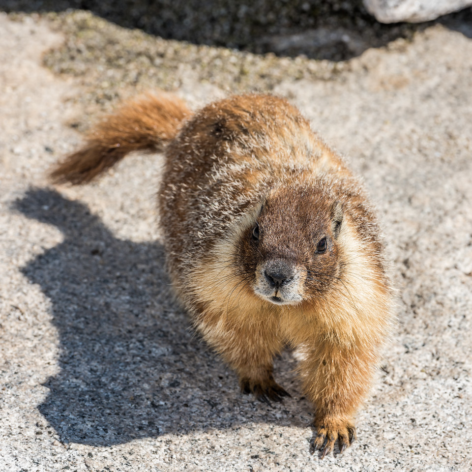 Yellow-bellied marmot (Marmota flaviventris). Half Dome summit, Yosemite National Park, CA.