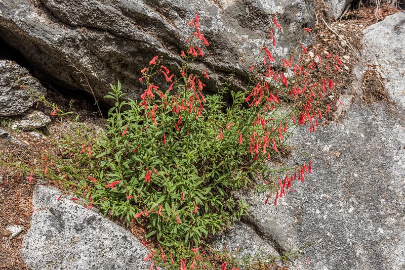 Bridge penstemon (Penstemon rostriflorus). Mist Trail, Yosemite National Park, CA.