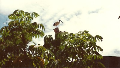 New Zealand Ibis