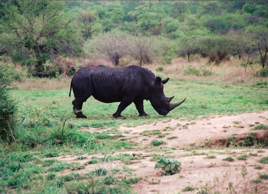 Black Rhino - So. Africa