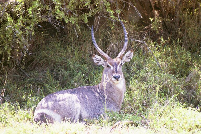 So  Africa - Waterbuck