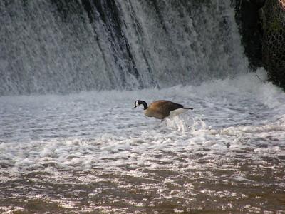 Canada Geese bathing