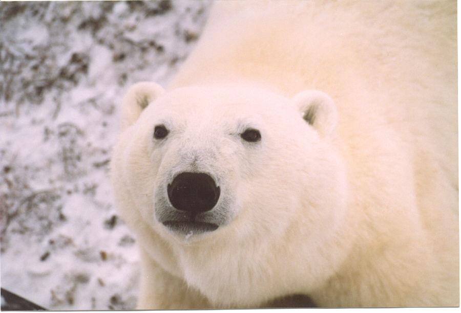 Churchill Polar Bear