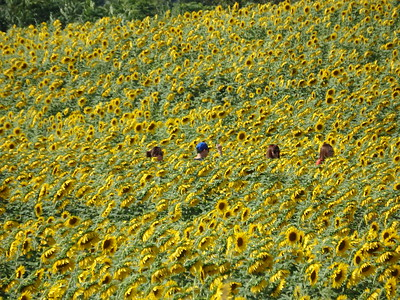 Sunflower maze in Sussex Co., NJ