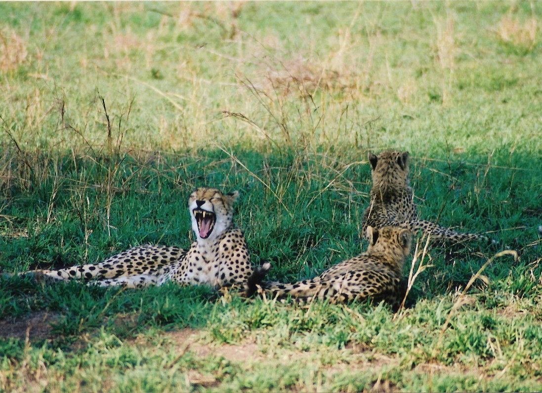 Cheetas - So. Africa