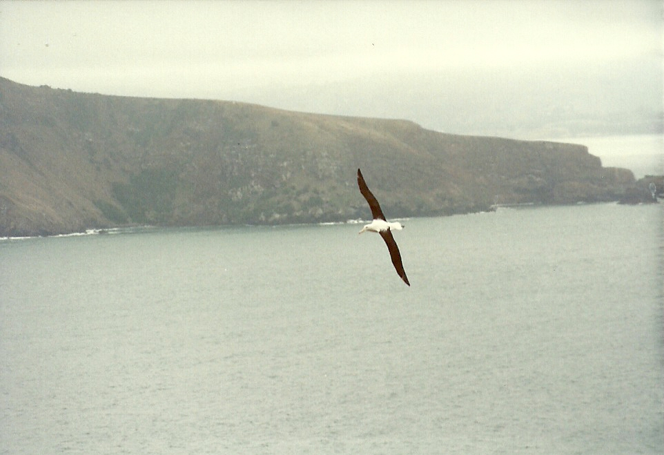 Albatross in New Zealand
