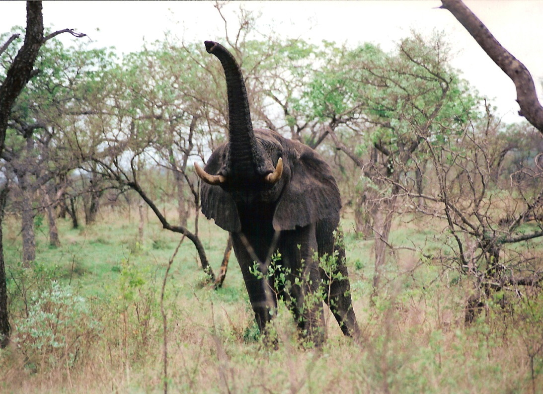 Elephant - So. Africa