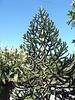Araucana tree---half pine, half cactus?