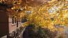 Fall foliage alongside Twain carriage house, Hartford CT