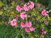 Alpen Rosa