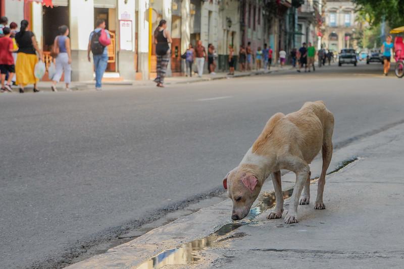 Street dog, Havana, Cuba, June 11, 2016.