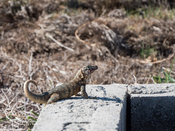 Lizard, El Morro, Havana, Cuba, June 2, 2016.