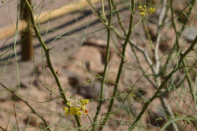 Same flowers and plant--I believe Palo Verde (Parkinsonia aculeata).