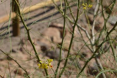 Same flowers and plant--I believe Palo Verde (Parkinsonia aculeata).