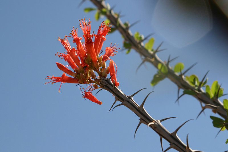 Close-up of ocotillo blooms.