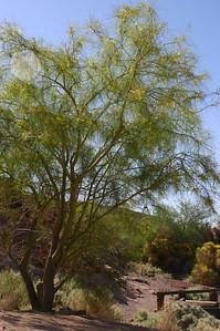 A lovely wispy desert tree in bloom. Not identified.