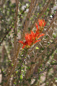 Ocotillo  blooms. (Pronounced ock-oh-TEA-oh.) We were very lucky during our entire trip as we caught many desert flowers still in their spring bloom. Later in the season, for example, the ocotillo is nothing but spiny stalks.