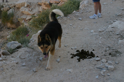 Following most of the horses and mule trains, and some of the hikers, came the Havasupai trail dogs. They apparently just decide that it looks like more fun to follow someone up 8 miles of trail and then back again than to hang around in the village.
