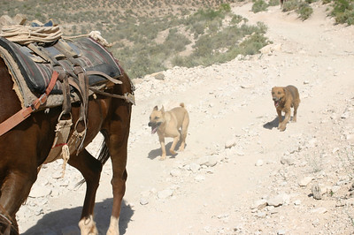 And, behind the horses, more Havasupai trail dogs.