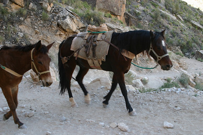 As I said, both mules and horses served as pack animals.