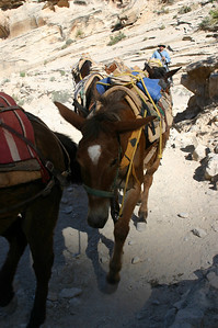 The mule trains consisted of a combination of horses and mules.