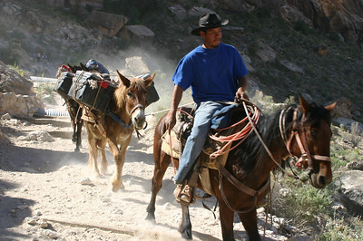 Sometimes there'd be a horse or mule on a lead or roped together, but not mostly. I wondered whether maybe those were the younger ones still learning their jobs.
