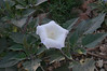 Sacred Datura, also called Jimsonweed or Loco Weed.