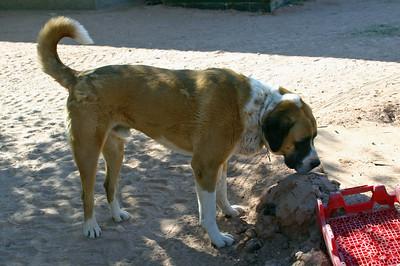 The St.-Bernardy-type dog again.