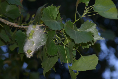 """The cottonwoods were in full cottony splendor; with every breeze, """"cotton"""" danced through the air."""