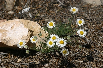 Fleabane (erigeron concinnus). All of these plant IDs are my best guesses.