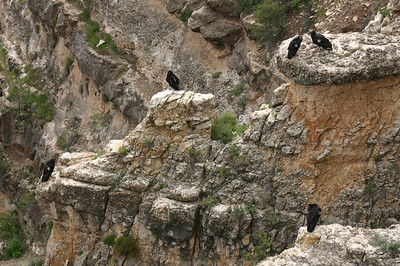 OK, gang, there are only 151 condors in the wild (according to yesterday's newspaper, and you're lookin' at 5 of 'em right here. In fact, there were times when I could clearly count 10 in view at one time, and there may have been more in the area. Wow. Just--wow.