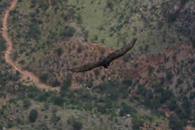 Turkey vulture soaring below the rim level.