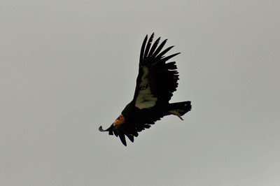 And, suddenly, there were California condors in the air! I was delighted; knew there were around but hadn't expected to see one, as they range up to 150 miles a day.