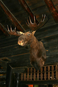 Many heads perused the human guests huddling below from the storm. I'll always have a fondness for moose heads because there was one in the big central room of the lodge where I lived when I was a child.