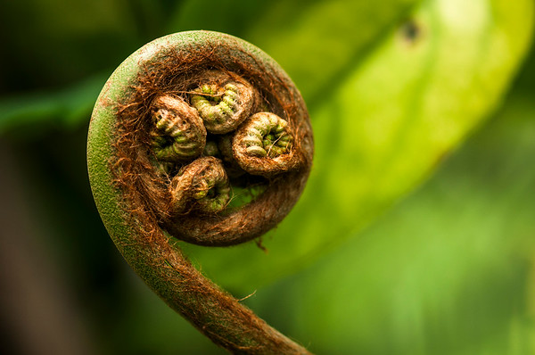 Large Fern Frond
