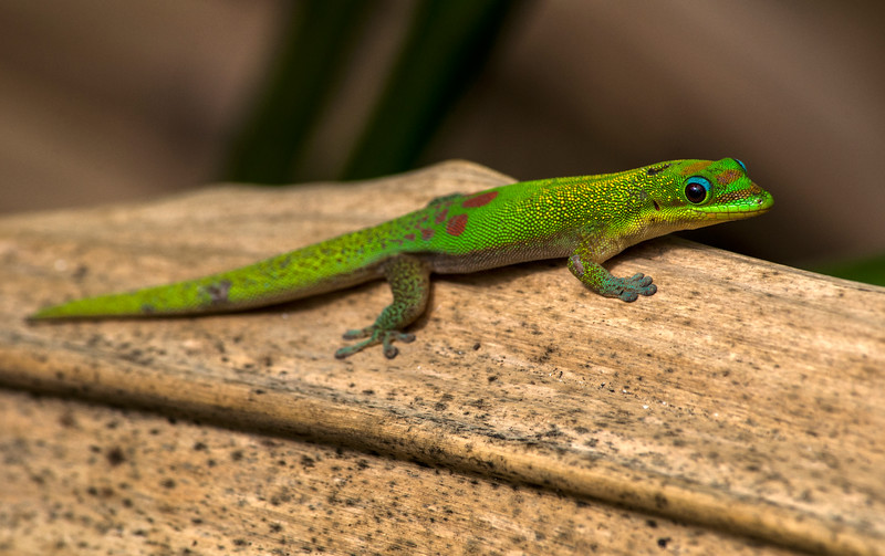 Gold dust day gecko (Phelsuma laticauda)