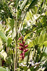 Kauai Hanging Lobster Claw 3