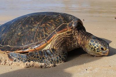 Hawaiian green turtle (sea turtle) at Laniakea, Oahu.