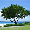 06/30/06: My favorite tree on Hapuna Beach.