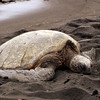 06/27/06: A Sea Turtle nesting on the Punaluu Black Sand Beach.