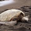 06/27/06: A Sea Turtle nesting on the Punaluu Black Sand Beach.