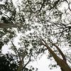 Eucalyptus tree canopy
